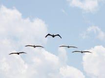 Brown Pelicans Flying, Playalinda Beach, Merritt Island, Florida Stock Photography