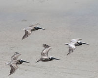 Brown Pelicans Royalty Free Stock Photos