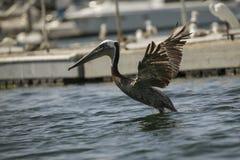 Brown Pelicans La Jolla Royalty Free Stock Image