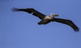 Brown Pelicans La Jolla stock photo