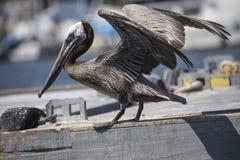Brown Pelicans La Jolla Royalty Free Stock Images