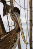 Brown Pelicans at the Marina in Corpus Christi, Texas. Waiting for the next boat to come in royalty free stock images