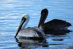Brown Pelicans. Near Island Road Pointe Aux Chene Louisiana Terrebonne Parish Royalty Free Stock Images