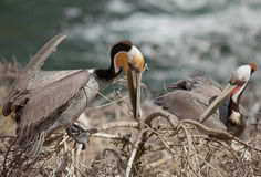 Brown Pelicans--Nesting Season Royalty Free Stock Images