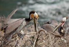 Brown Pelicans--Nesting Season. California brown pelicans (Pelecanus occidentalis) building their nest atop the cliffs at La Jolla near San Diego, California royalty free stock images