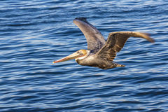 Brown pelicans over Pacific ocean at La Jolla Cove, San Diego CA. US Royalty Free Stock Photo