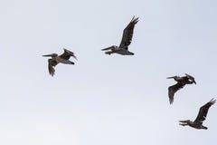 Brown Pelicans Pelecanus occidentalis Royalty Free Stock Photography