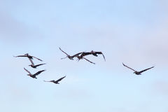 Brown Pelicans Pelecanus occidentalis Stock Photos