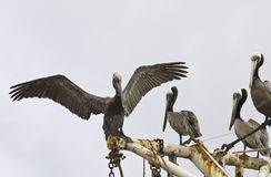 Brown pelicans perched on ship rigging Stock Image