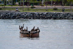 Brown Pelicans perched on a small fishing boat Stock Photography