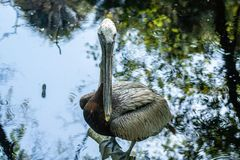 Brown pelicans. A picture of brown pelicans royalty free stock photography