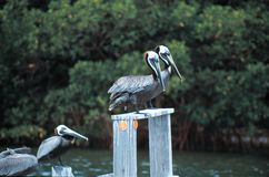 Brown Pelicans on stock images