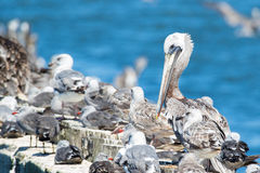 Brown Pelicans at rest surrounded by seagulls. Stock Photography