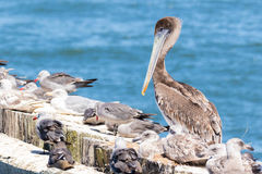 Brown Pelicans at rest surrounded by seagulls. Royalty Free Stock Photos