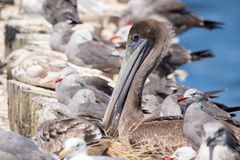 Brown Pelicans at rest surrounded by seagulls. Stock Image