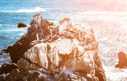 Brown pelicans resting on the rocks in Chile Stock Photography