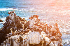 Brown pelicans resting on the rocks in Chile Royalty Free Stock Photo