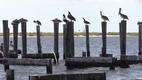 Brown Pelicans roosting on a Pier stock video footage