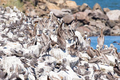 Brown Pelicans roosting on rocky sea wall. Royalty Free Stock Photos