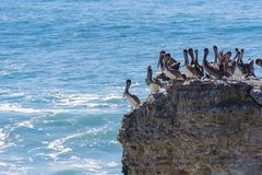 Brown Pelicans sitting on a cliff, Wilder Ranch State Park, California royalty free stock image