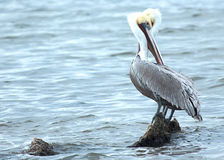 Brown Pelicans standing on a rock in the water Royalty Free Stock Photos