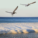 Brown Pelicans Take-Off From White Sand Beach as Sun Rises Royalty Free Stock Image
