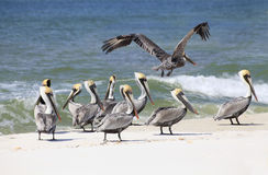 Brown Pelicans On a White Sand Florida Beach. A Flock of Brown Pelicans on a White Sand Florida Beach Royalty Free Stock Photos