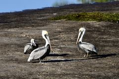 Brown Pelicans #4. This is a Winter picture of three Brown Pelicans on a sandbar on the Bayou Grande located in Pensacola, Florida in Escambia County. This royalty free stock photography