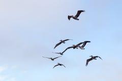 Brown Pelicans & x28;Pelecanus occidentalis& x29; Royalty Free Stock Image