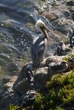 Brown-Pelikan stockbilder
