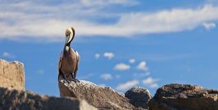 Brown-Pelikan Stockbild