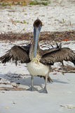 Brown-Pelikan auf dem Strand stockfotografie