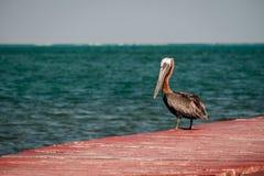 Brown-Pelikan auf einem roten Dock Lizenzfreie Stockfotos