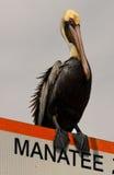 Brown-Pelikan auf Manatiszeichen Lizenzfreie Stockfotos