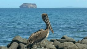 Brown-Pelikan auf Nord-Seymour in den Galapagos lizenzfreie stockfotografie