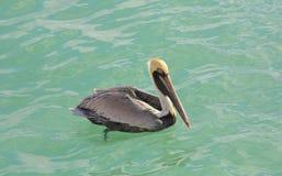 Brown-Pelikan auf Wasser 5 Stockbilder
