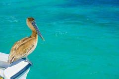 Brown-Pelikan, der über einem Boot, in Puerto Morelos im karibischen Meer nahe bei der tropischen Paradiesküste steht stockfotos