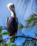 Brown-Pelikan, der über einem Frischwassersee roosting ist lizenzfreie stockbilder