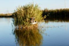 Brown-Pelikan, der über Sumpfgebiete in Louisiana fliegt stockbilder
