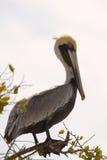 Brown-Pelikan, der auf Baumast aufwirft Stockfotografie