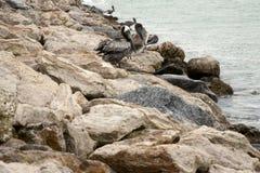 Brown-Pelikan, der auf den Felsen steht Stockfotografie
