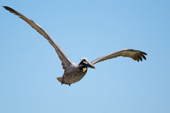 Brown-Pelikan (Pelecanus occidentalis) Lizenzfreies Stockbild