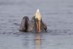 Brown-Pelikan, der in eine Lagune - St Petersburg, Florida einzieht Stockbilder