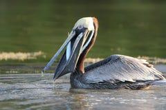 Brown-Pelikan, der einen Fisch - Florida isst Lizenzfreies Stockfoto