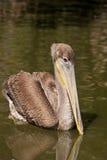 Brown-Pelikan, der in einen Teich schwimmt Stockbild
