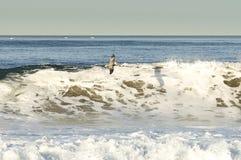 Brown-Pelikan, der große Welle surft Stockbilder