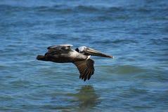 Brown-Pelikan, der niedrig über Wasser fliegt Stockfotografie