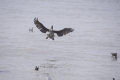Brown-Pelikan, der seine Flügel ausbreitet stockfoto