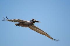Brown-Pelikan-Fliegen Stockfotos