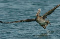 Brown-Pelikan - Fütterungserwachsener des Kükens Stockfoto
